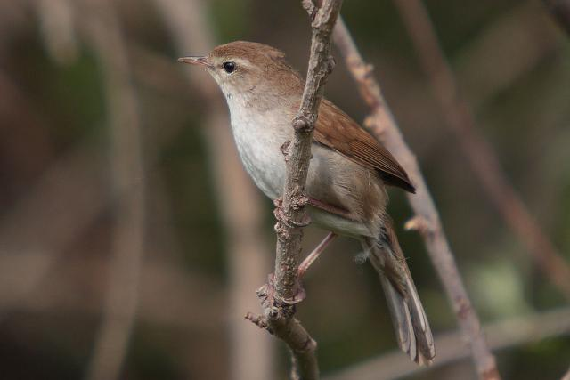 Cetti's warbler by the Kalloni east river, Lesvos, Greece / Mark S Jobling / CC-BY-SA-3.0